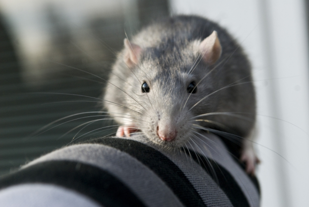 Deratyzacja, Szczury, Myszy, Gliwice, Śląsk