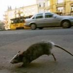 Deratyzacja gliwice, szczury gliwice
