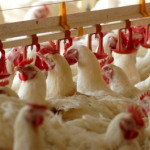 Deyznfekcja kurnika, Zabezpieczenie przed ptakami, Dezynfekcja, HACCP, Gliwice, Śląsk