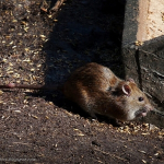 Szczur Wędrowny, Zabezpieczenie przed ptakami, Gazowanie, Fumigacja, Gliwice, Śląsk